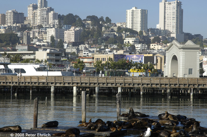 (231k, 864x574)<br><b>Country:</b> United States<br><b>City:</b> San Francisco/Bay Area, CA<br><b>System:</b> SF MUNI<br><b>Location:</b> Embarcadero/Pier 39 <br><b>Route:</b> F-Market<br><b>Car:</b> Milan Milano/Peter Witt (1927-1930)  1818 <br><b>Photo by:</b> Peter Ehrlich<br><b>Date:</b> 6/12/2008<br><b>Notes:</b> Milan car at Jefferson/Powell inbound.  With Pier 39 sea lions in foreground.<br><b>Viewed (this week/total):</b> 1 / 568